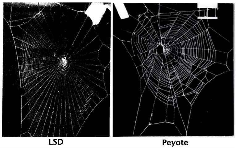 peyote lsd - Como aranhas agem sob efeito de drogas?