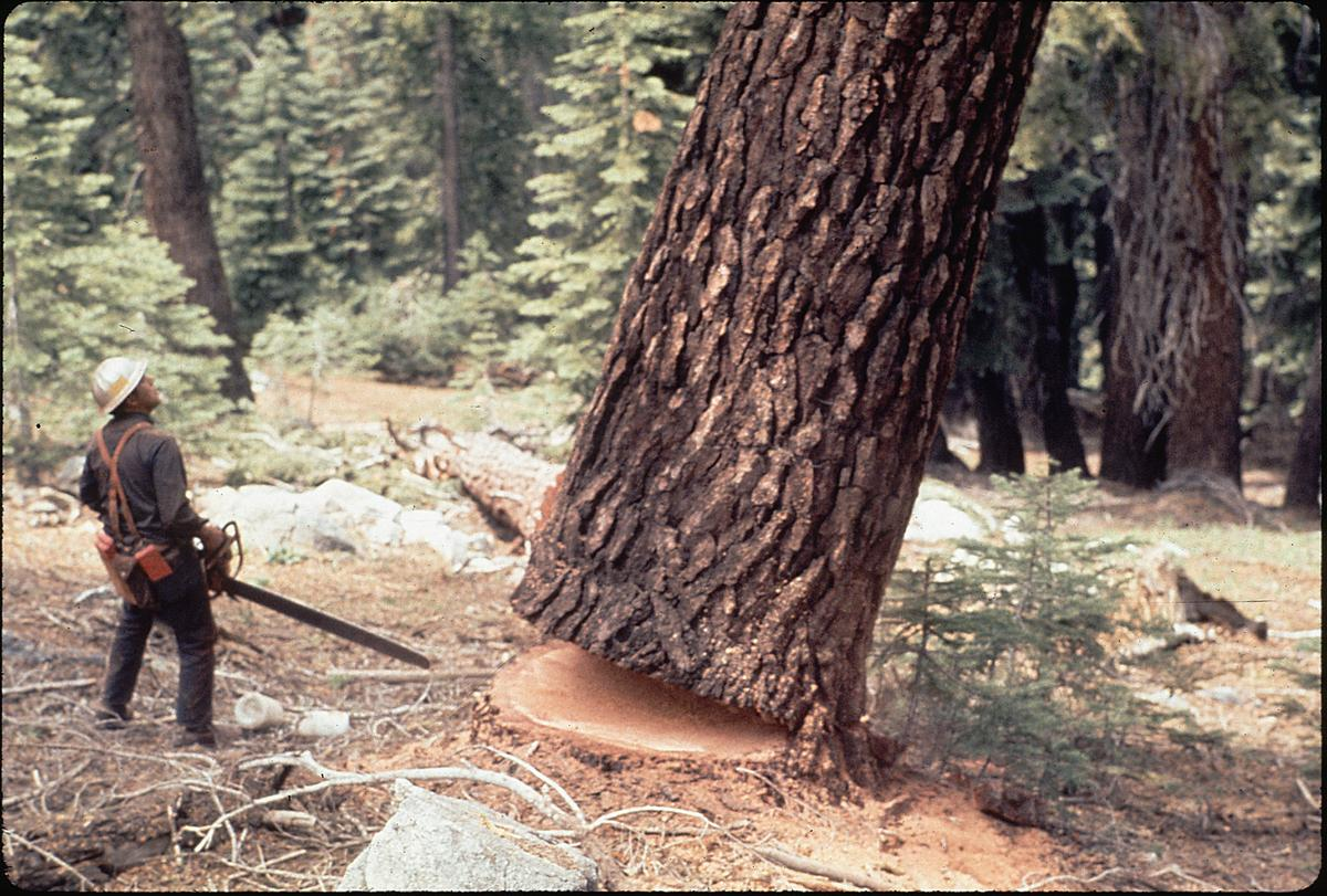 Usa Montana Lakeside Lumberjack Felling Tree